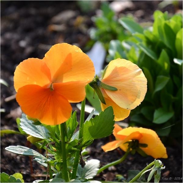 Le printemps orange