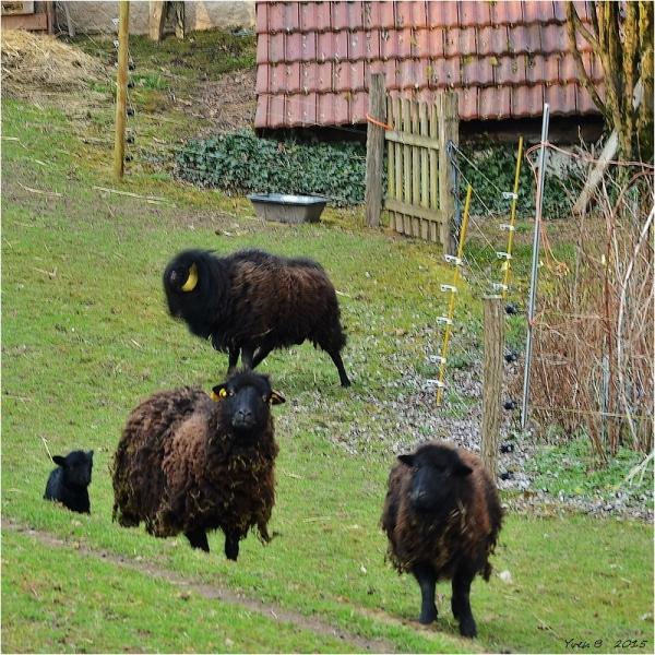 Les moutons noirs mécontents