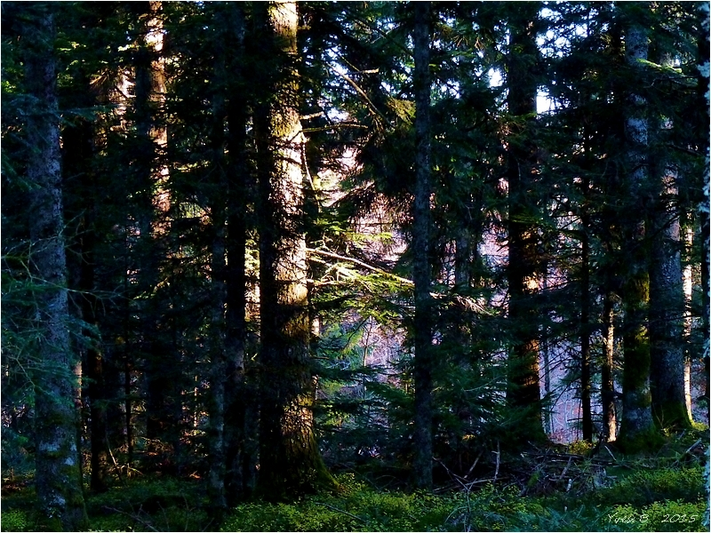 Dans le mystère de la forêt