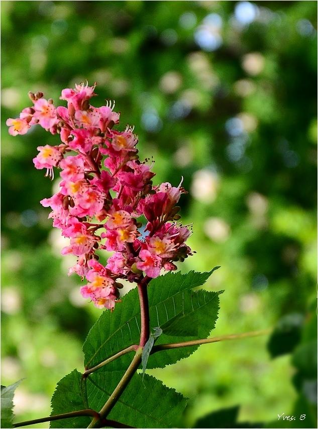 Fleur de marronnier