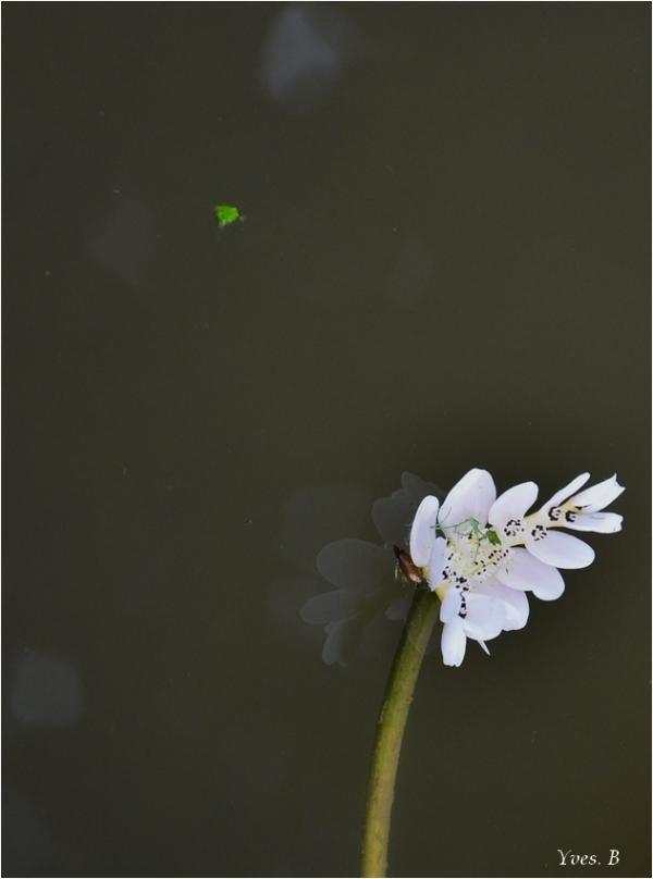 (A)  Fleur d'eau