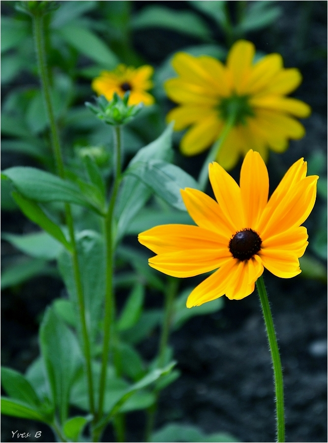 Fleur du soleil