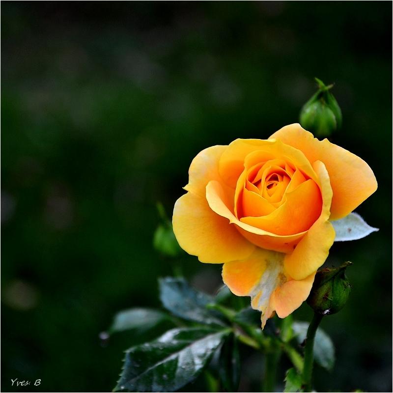 Rose abricot