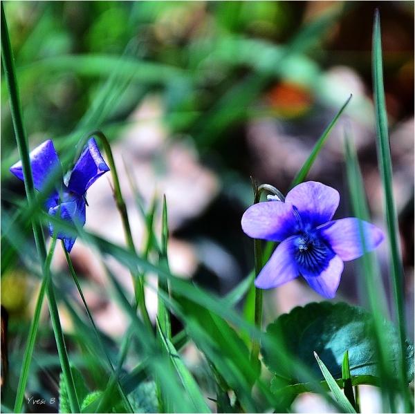 Au parfum de Violette