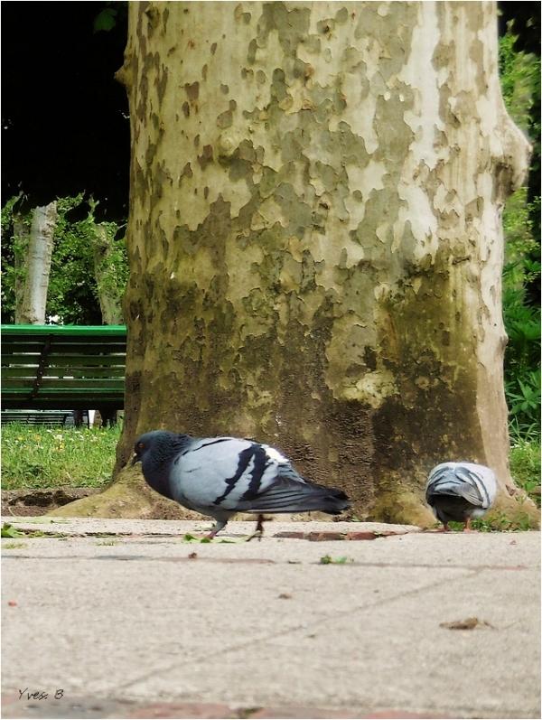 A pigeon-pigeon et demi