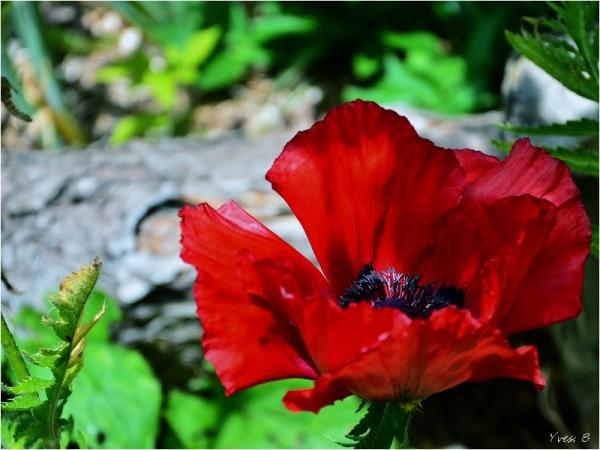 Le pavot rouge
