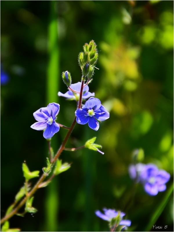 Douceur bleu