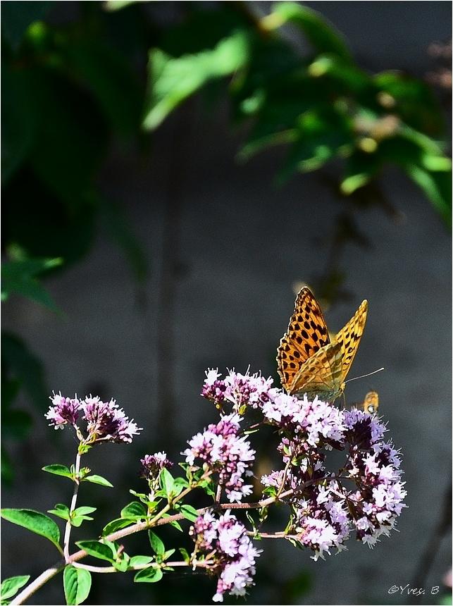 Le papillon ( Argynnis niobe)