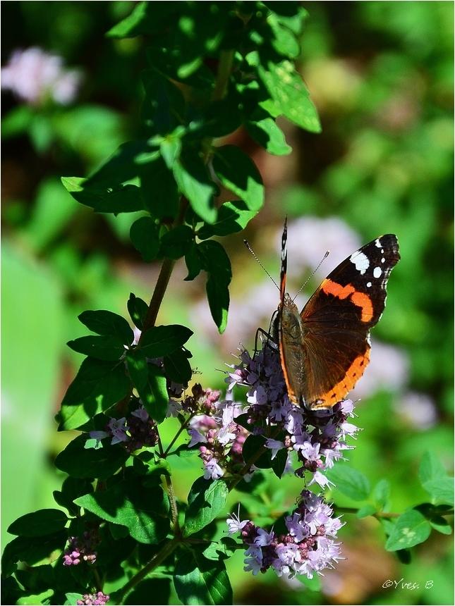 Le papillon (vanessa atalanta)