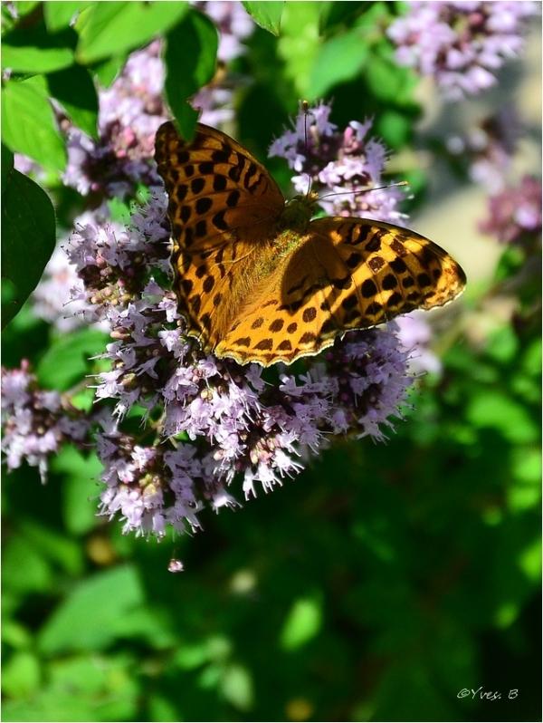 Papillon (Argynnis niobe)