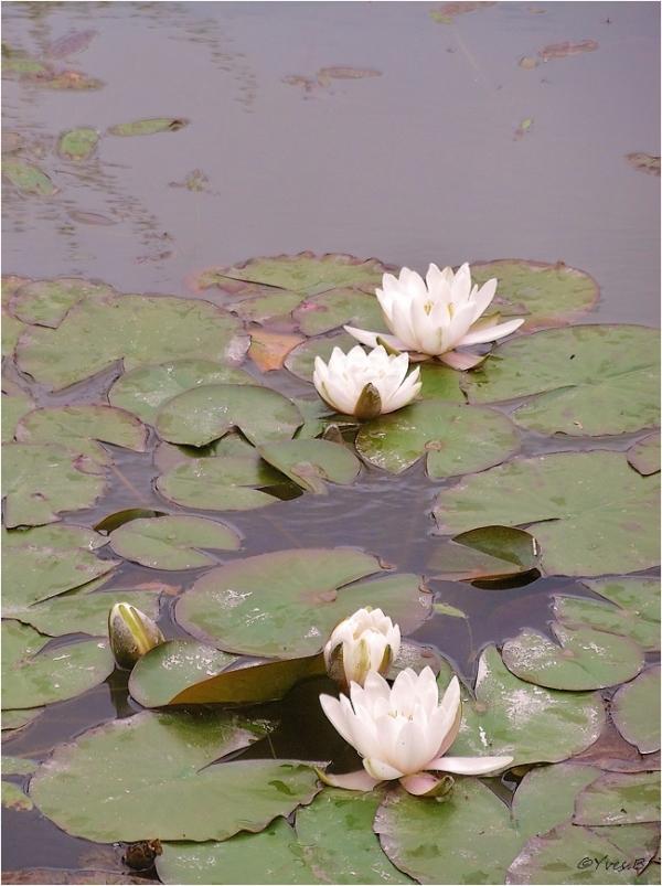 Les fleurs d'eau