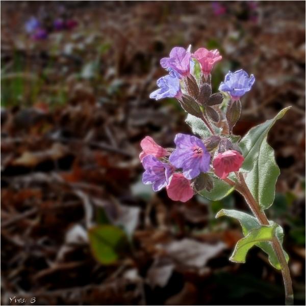 Pulmonaire en fleur