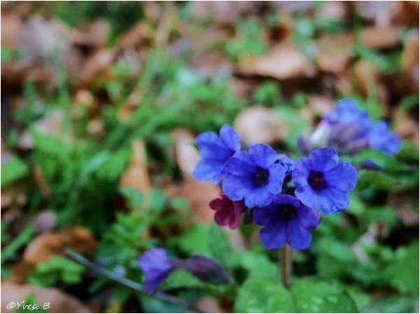 Restons fleur bleu