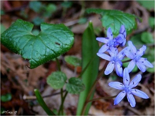Être fleur bleu
