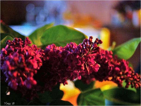 Flamboyant Lilas