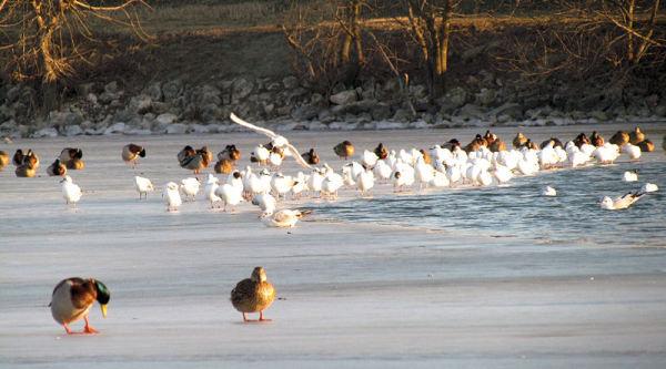 Mouettes et canards sur lac gelé...