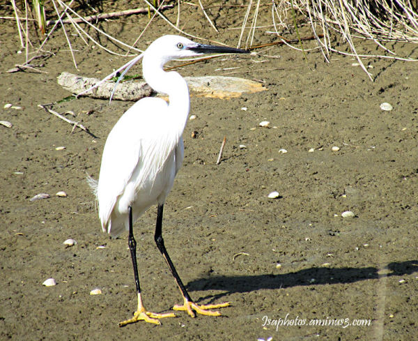 La belle aigrette