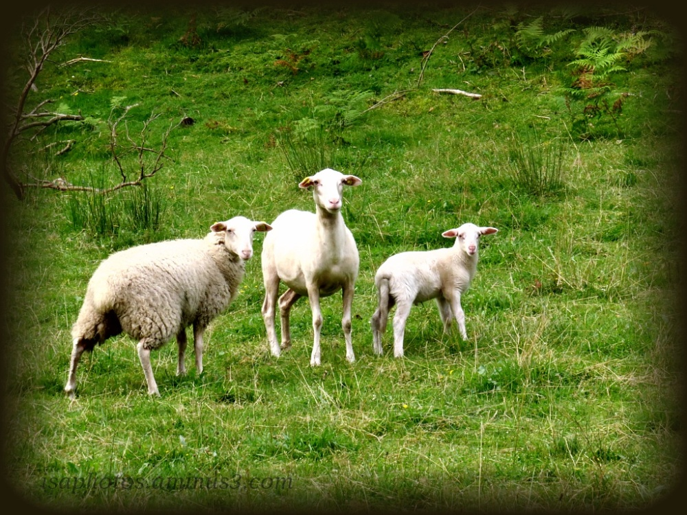 Famille moutons