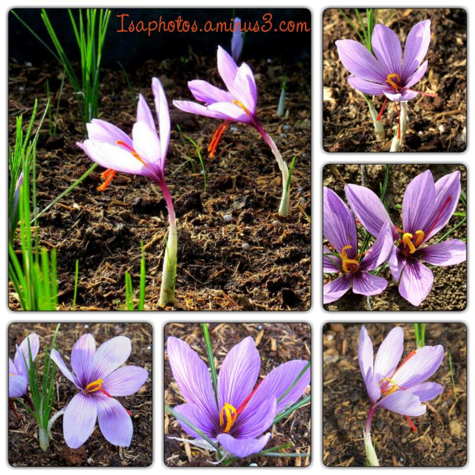Safran de Provence