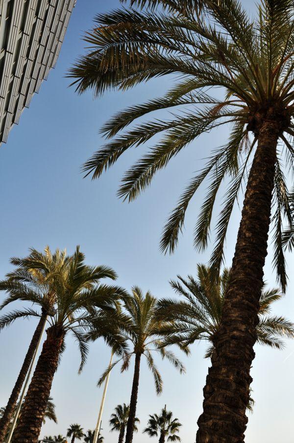 Palm in Barcelona