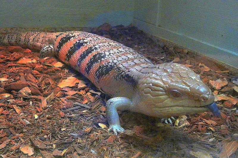 San Bernardino County Museum - reptile