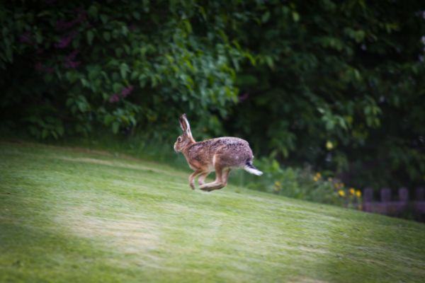 Runing hare