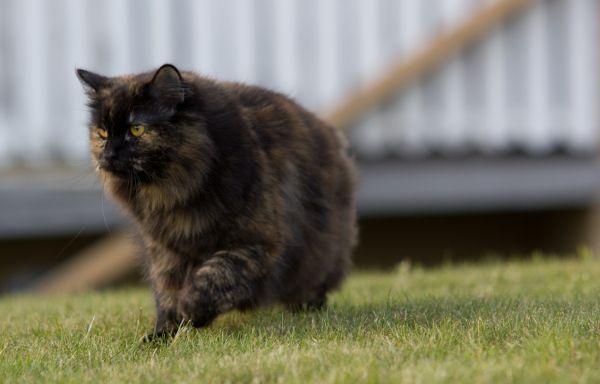 Norweigan Forrest Cat