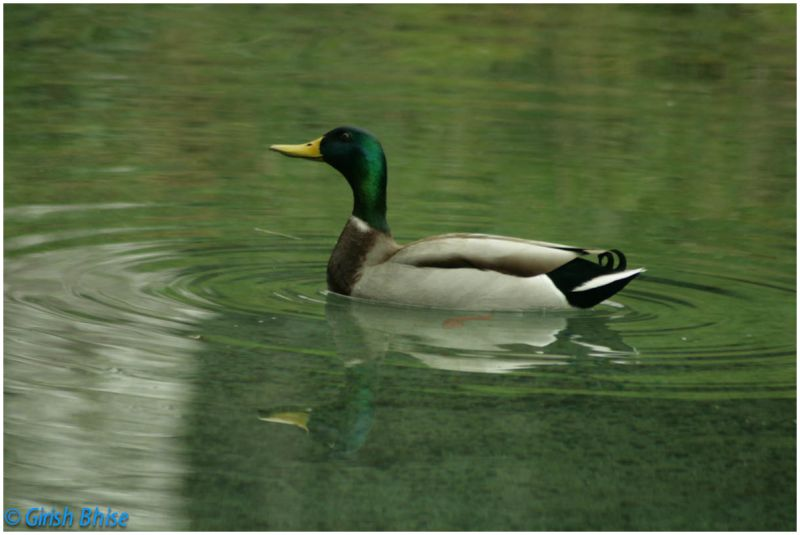 Green duck creating ripples in the lake