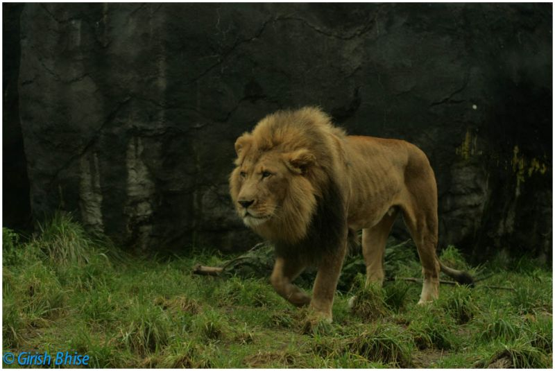 Lion king of the jungle
