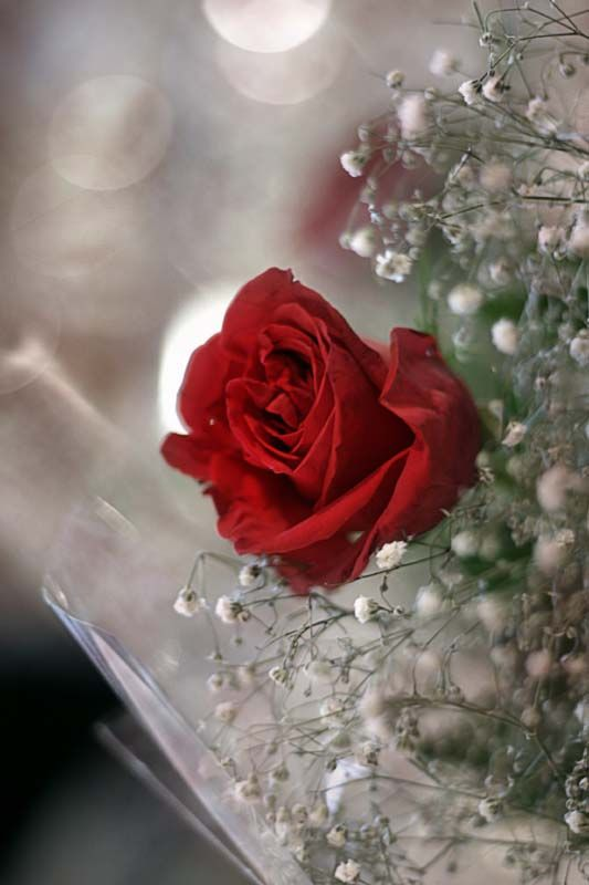 Rose on counter