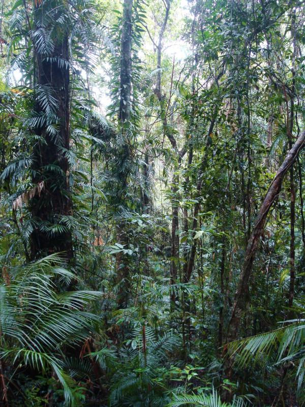 Rainforest around Daintree River 3