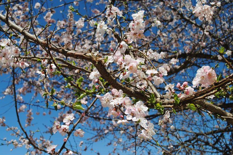 Blossom and broken branch