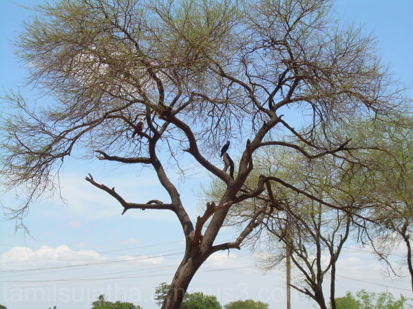Trees and Eagles, Panchalanguruchi, Tirunelveli