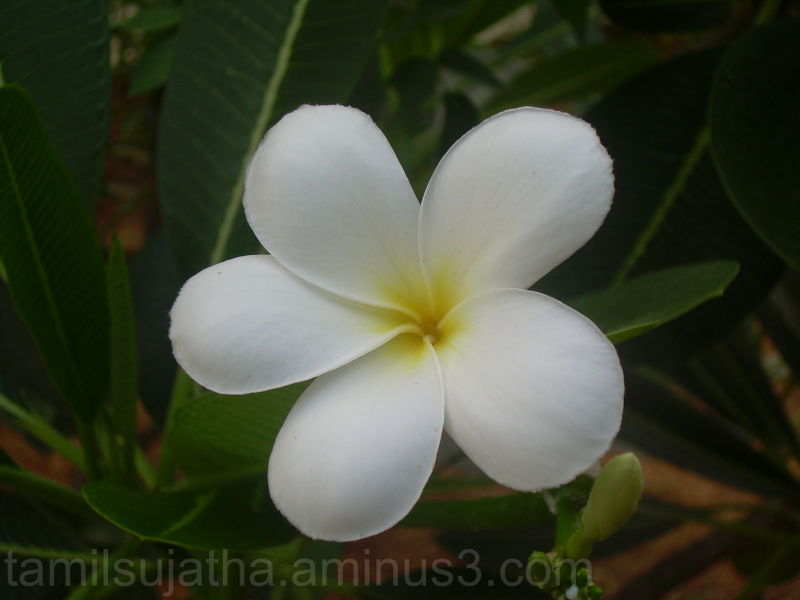 Plumeriya Flower, Chennai, India