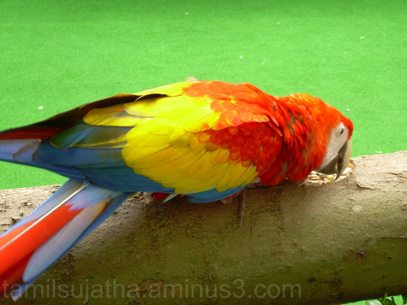 Parrot, Jurong Bird Park, Singapore