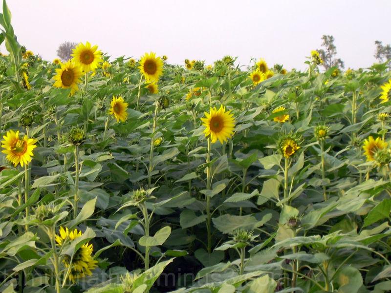 Sunflowers, Dharwad, Karnataka