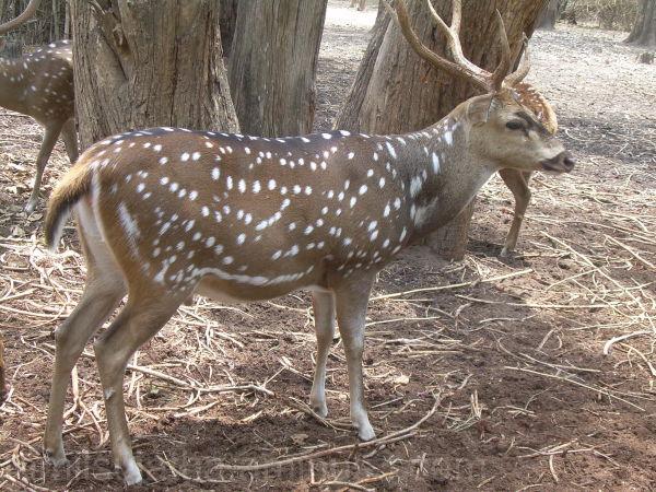 Deer, Mysore Zoo, Karnataka