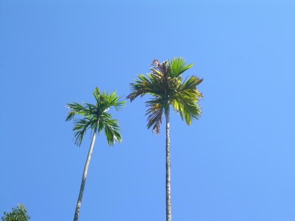 Betel Tree, Munnar, Kerala