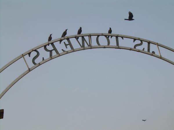 Crows, Chennai
