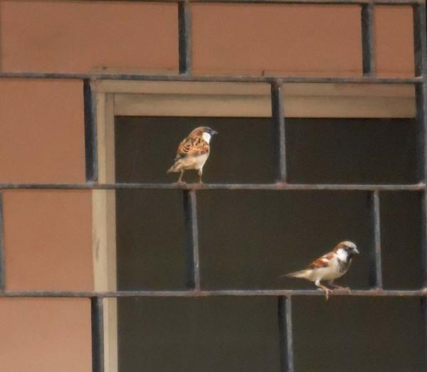 Sparrows, Chennai, Tamilnadu