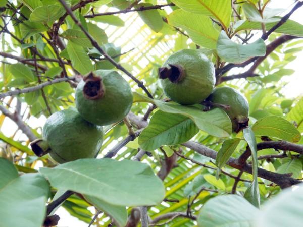 Guava Fruits, Chennai, India