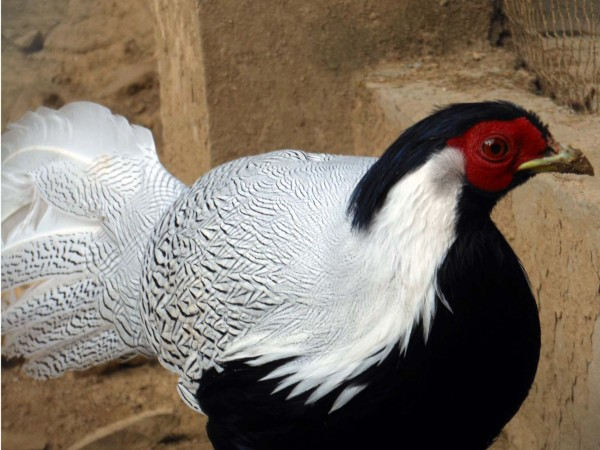 Bird, Manali, India