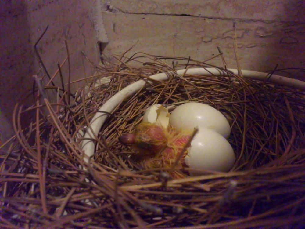 birth of a chick