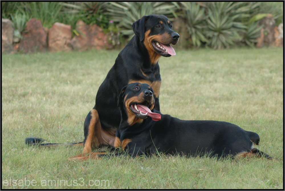Rottweiler,dogs,pets,animals