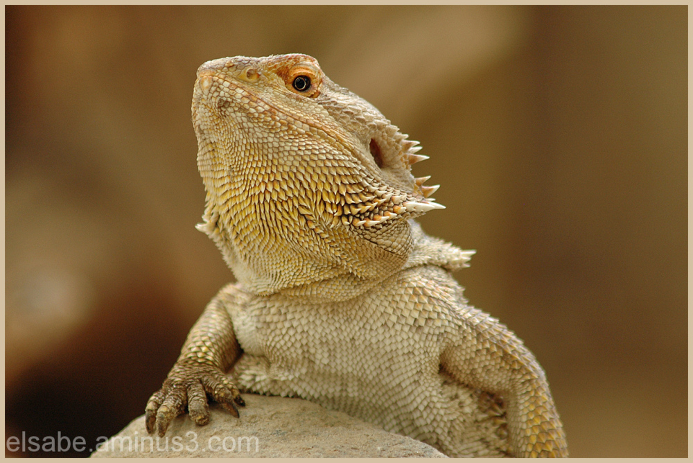 lizard,bearded dragon,animals