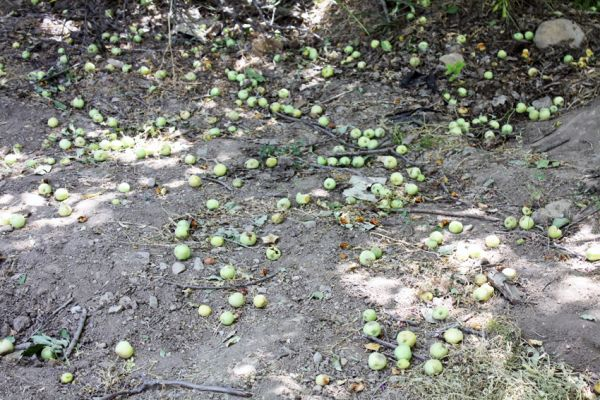 meeting of apples