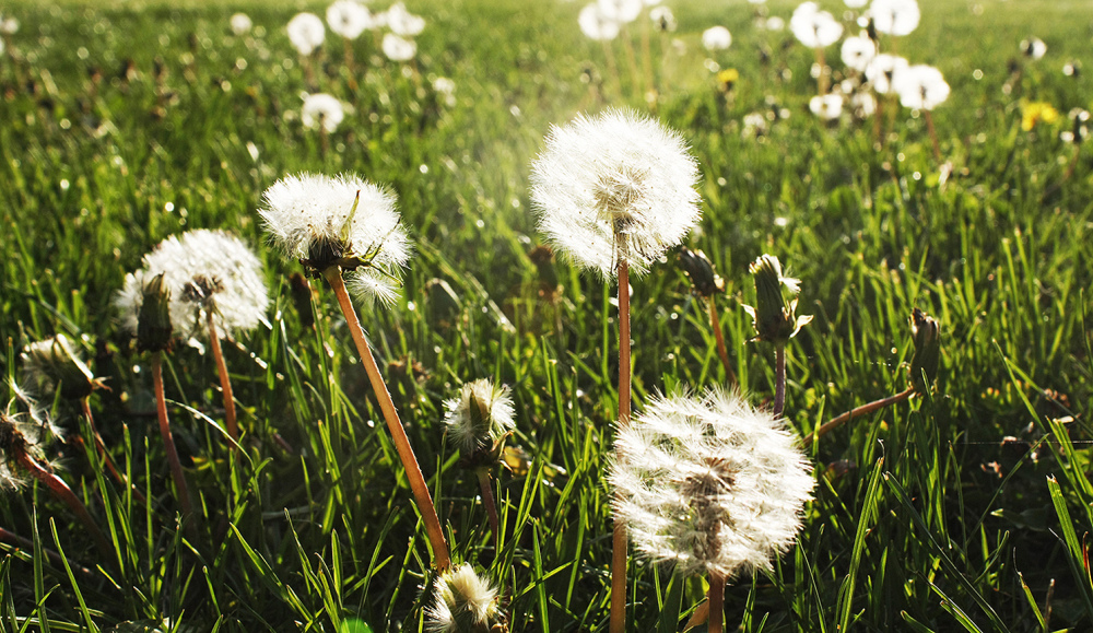 lovely dandelions