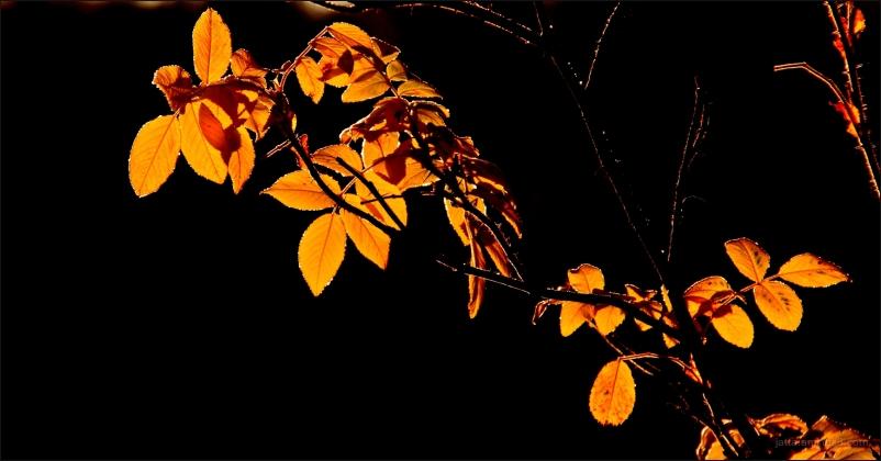 Leaves of rose bush in the morning light