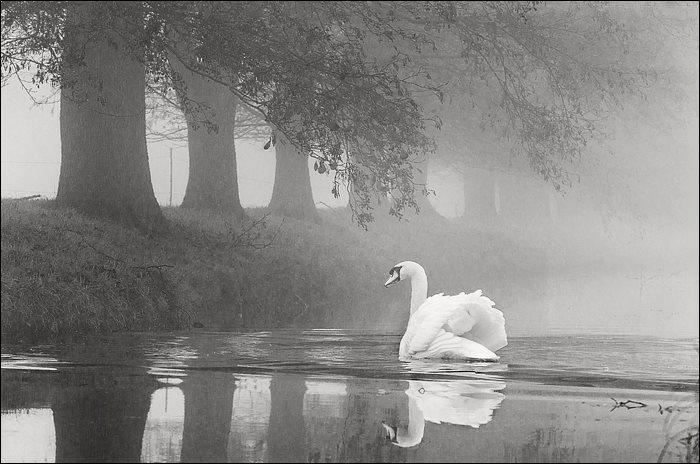Zwaan in de mist....