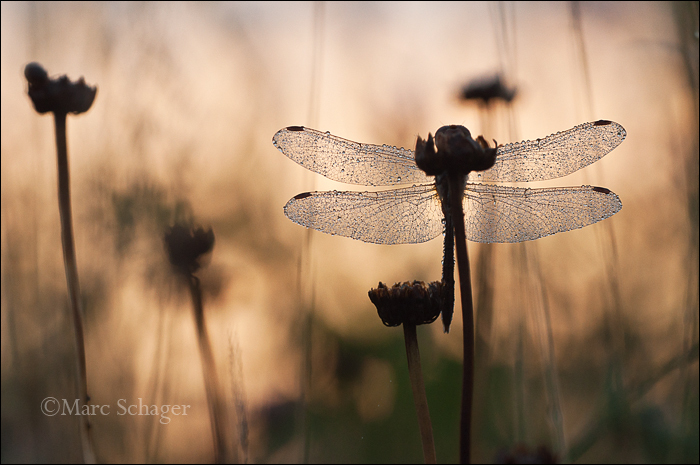 Dragonfly in the morning.